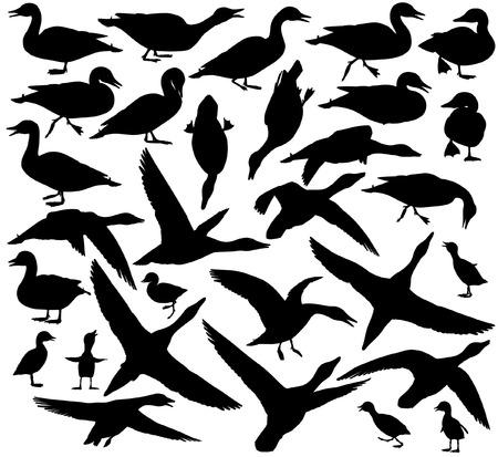 pato: Conjunto de EPS8 vector editable siluetas de patos y patitos de pie, caminar, nadar, bucear y vuelo Vectores