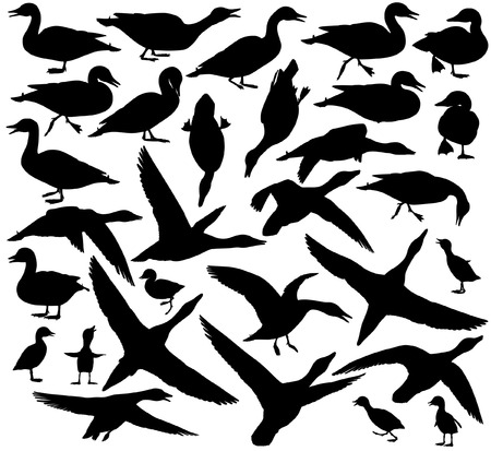 Set of EPS8 editable vector silhouettes of ducks and ducklings standing, walking, swimming, diving and flying Vector