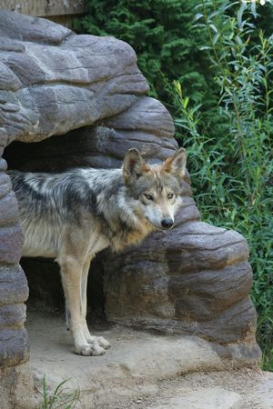 den: Wolf peering out of den Stock Photo