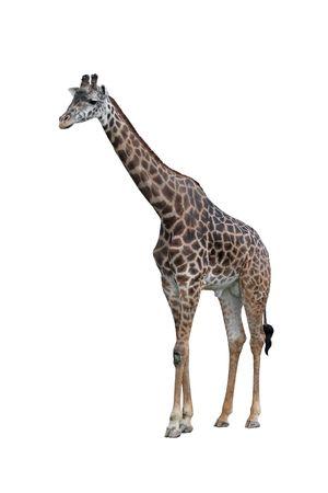 jirafa: Giraffe de los masai aislado en blanco Foto de archivo