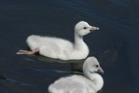 Trumpeter Swans photo