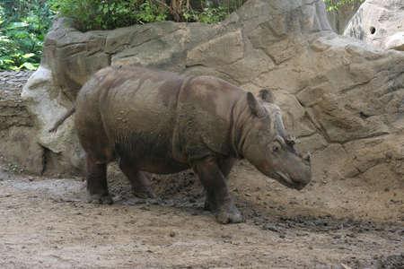 sumatran: Rare Sumatran Rhinoceros