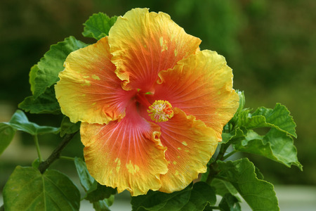 malvaceae: The hibiscus is a flower from the  Malvaceae