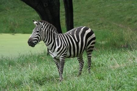 grants: The Grants Zebra (Burchelli Bohmi) is the most abundant of the four species of zebra.