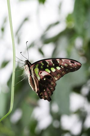Tailed Jay clinging to blade of grass photo