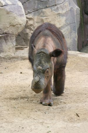 Muddy Sumatran Rhinoceros walking towards viewer Stock Photo