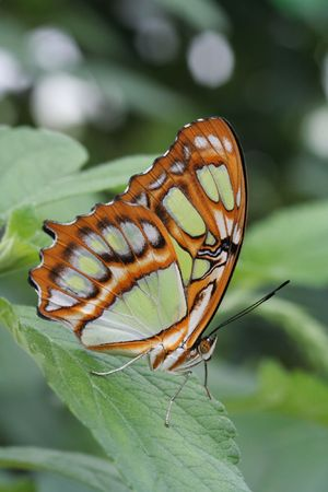 Malachite Butterfly (Siproeta Stelenes) resting on leaf photo