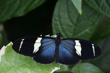 Sara Longwing Butterfly, (Heliconius Sara) resting on plant photo