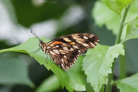 Silverspot Butterfly (Dione Juno) Sitting on a leaf photo