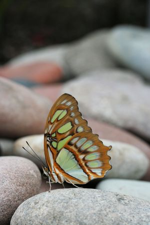 Malachite Butterfly (Siproeta Stelenes) sitting on pile of rocks photo