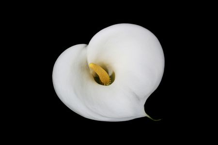 heart shaped: Heart shaped Cala Lily on Black Background Stock Photo