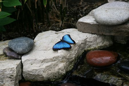 Blue Morpho Butterfly resting on rocks by waterfall photo