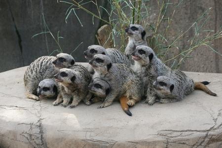 diurnal: Group of cute Meerkats posing on rock Stock Photo