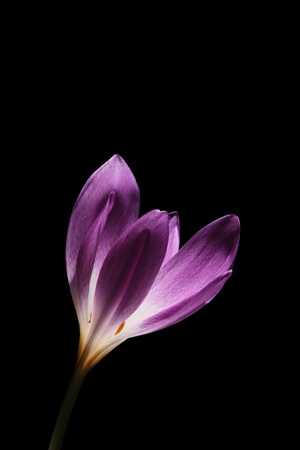 Colchicum is also known at Autumn Crocus or Meadow Saffron Stock Photo - 13002591
