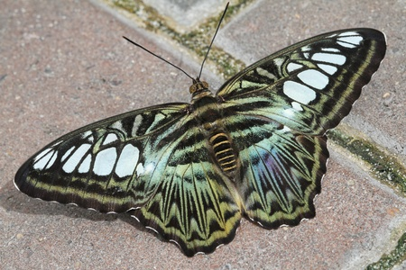 sunning: Blue Clipper Butterfly sunning on brick path Stock Photo
