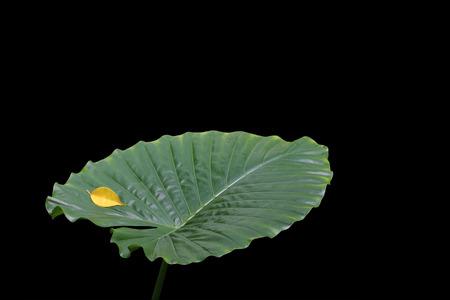 tropical shrub: Elephant Ear Leaf and Ficus Leaf against a black background.