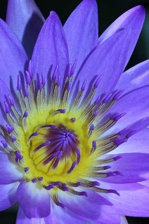 Close up view of a Royal Purple Water Lily Stock Photo
