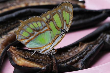 malachite: Beautiful Malachite Butterfly feeding on rotten bananas. Stock Photo