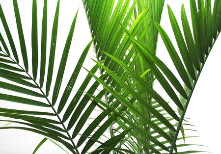 cycadaceae: Palm Fronds on white background
