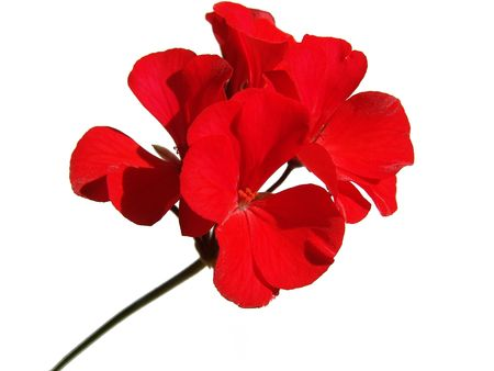 A red geranium flower isolated on white photo