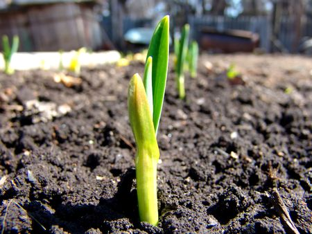 A small onion plant in an orchard Stock Photo - 835711