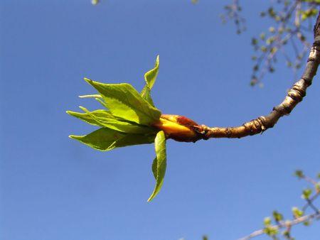 Poplar tree leaves in spring photo