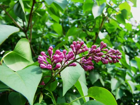 Lilac tree flower buds photo