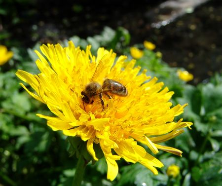 A bee working on a dandelion flower macro photo