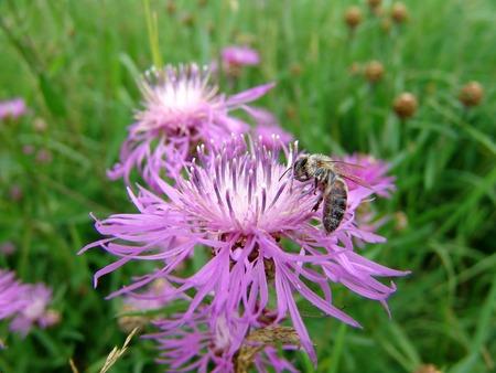 Una recopilación de polen de abeja sobre una flor de cardo Foto de archivo - 1720651