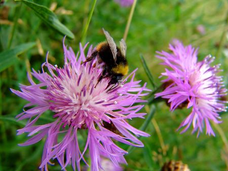 A bumble bee on a thistle flower photo