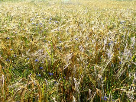 cropcircle: A barley field with shining golden barley ears in late summer