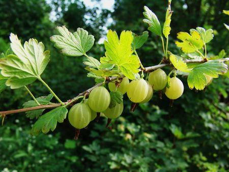 gooseberry bush: A gooseberry bush branch with green beads