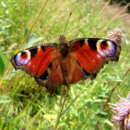 to get warm: A butterfly on a thistle flower in the fields