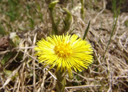 Coltsfoot flower plant growing from dry grass Stock Photo - 2249571