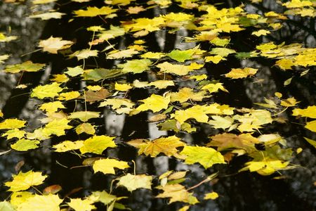 A background view of yellow fall leaves floating on a dark lake water photo