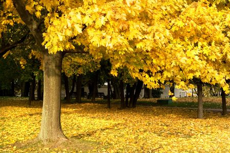 A view of an autumn park with a maple tree, yellow leaves and some copy space Stock Photo - 4487399