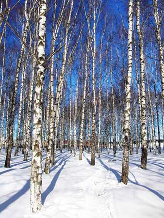 birch trees: A birch trees grove by a sunny winter day