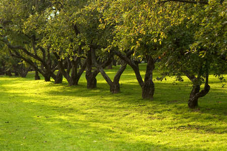 botanic garden: Rows of apple trees in a warm summer park with light green grass Stock Photo