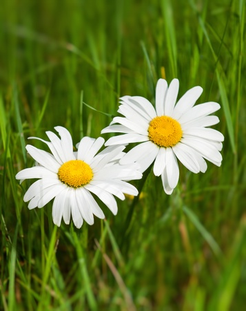 Beautiful daisies growing in a green meadow Stock Photo