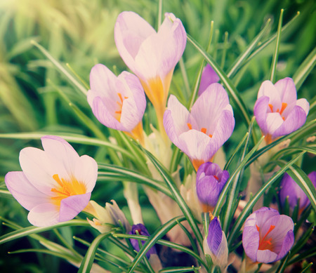 croci: Beautiful crocuses in the grass under the sun Stock Photo