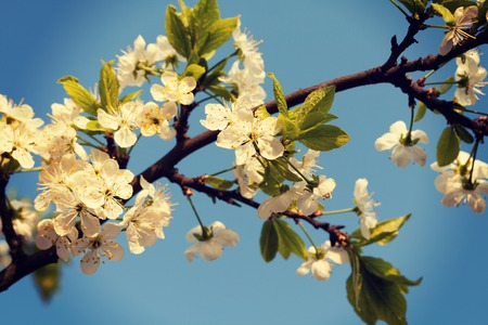 A branch of the cherry blossoms against the blue sky photo