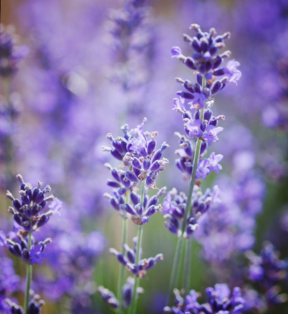 lavande: lavender flowers Stock Photo