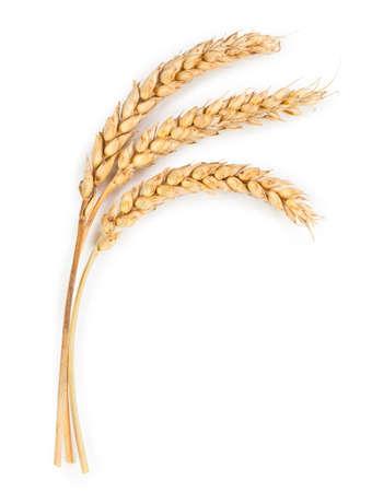 cosecha de trigo: Oídos maduros del trigo aislados en el fondo blanco