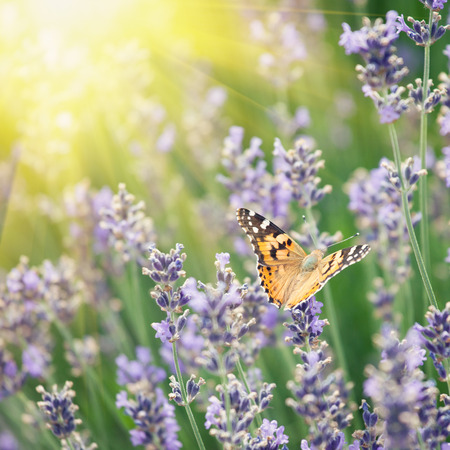 lavanda: Butterfly and lavenders