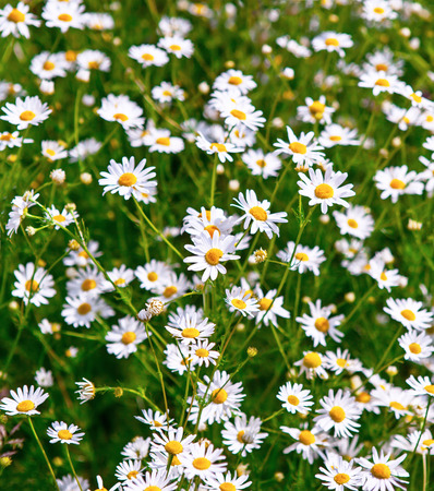 blue daisy: Beautiful Daisies in the field