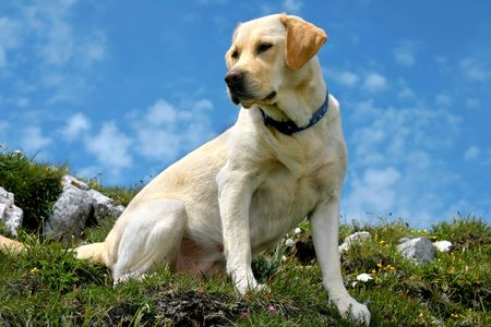 Labrador retriever sitting on the mountain path, more than 2000 meters high (the sky color is natural) photo