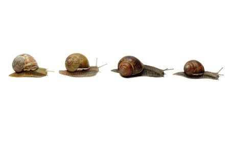 Row of snails, isolated photo