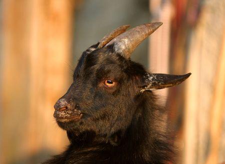 Black goat portrait with diabolic look photo