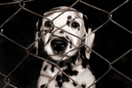 breeder: Dalmatian puppy looking through the fence Stock Photo