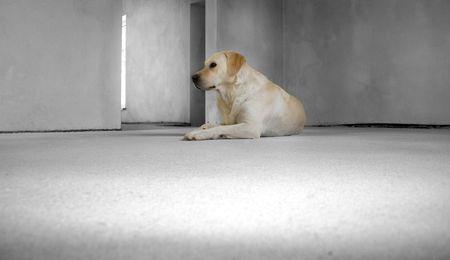 befejezetlen: Labrador retriever in an unfinished home Stock fotó